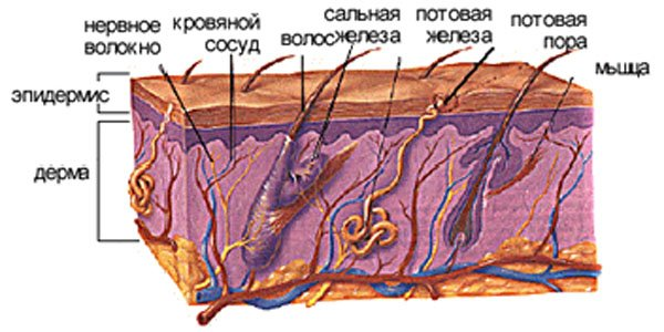 Кожа пронизана мельчайшими сосудами, значит, она является так же важнейшей частью кровеносной...